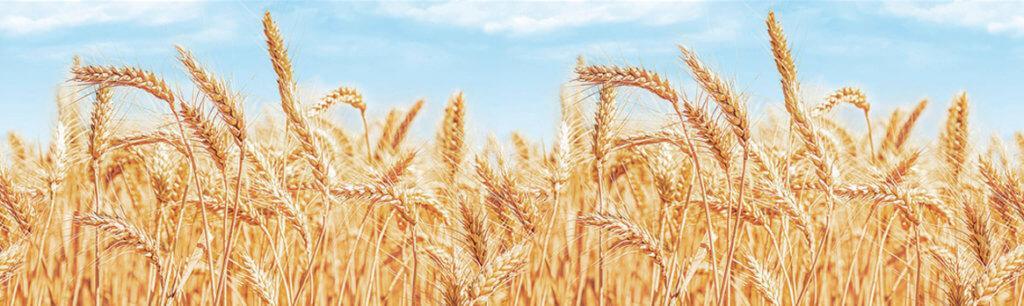 Скинали - Пшеница
